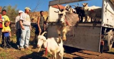 ONG capre