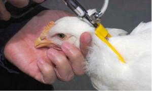 avicola injectie