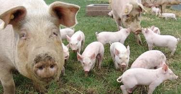 crescatori porci 1