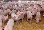 DSV pesta porcina